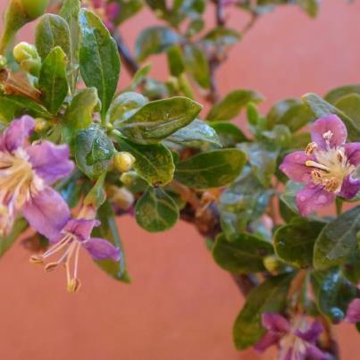 goji flowers! 534860_366823776722709_142583736_n